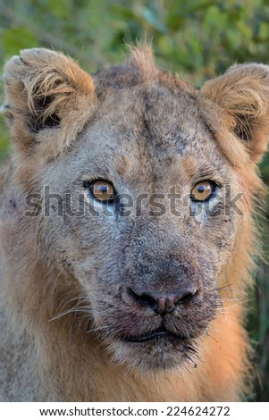Portrait of Young Male Lion in Kruger National Park - stock photo