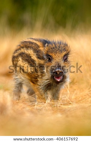 Portrait of young Wild boar, Sus scrofa, running in the grass meadow, red autumn forest in background, animal in the grass habitat, Germany wildlife