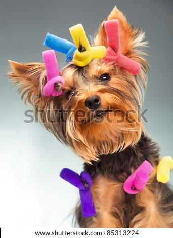 Portrait of young Yorkshire Terrier dog over white background - stock photo