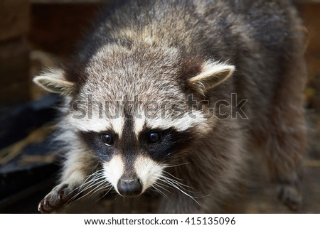 Portrait raccoon in forest - stock photo
