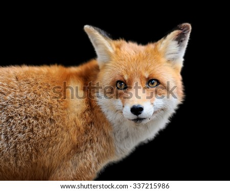 Portrait red fox on dark background - stock photo