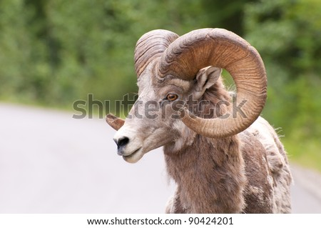 Portrait shot of side view of sheep. - stock photo