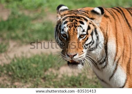 Portrait Siberian tiger - (Panthera tigris) - stock photo
