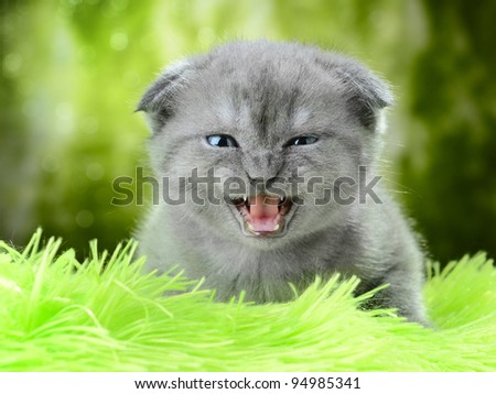 portrait small british  kitten the age of 1 month - stock photo