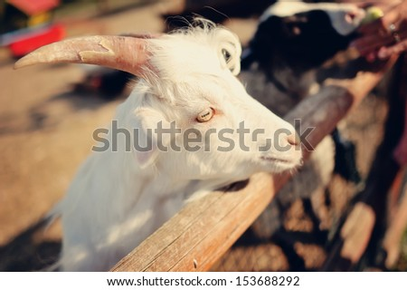 portrait snout white goat with big horns - stock photo
