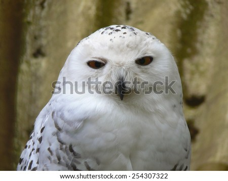 Portrait: Snow Owl - stock photo