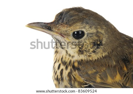 Portrait song thrush  on a white background