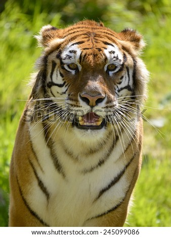 Portrait tiger  - stock photo