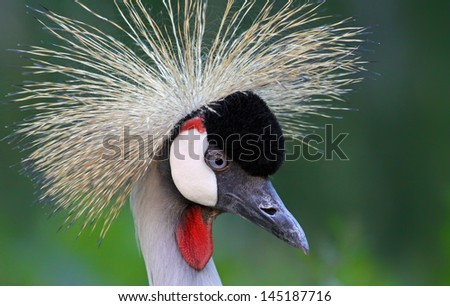 Portrait view of a Black Crowned Crane (Balearica pavonina) - stock photo