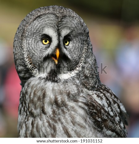 Portrait view of a Great Grey Owl (Strix nebulosa) - stock photo
