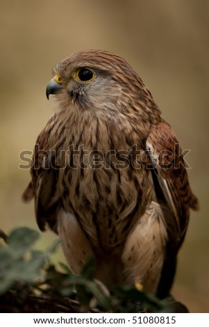 Portrait view of a Kestrel sitting on a branch