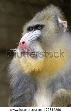 Portrait view of an adult male mandrill.Mandrillus sphinx is a primate of the Old World monkey with olive green and dark gray pelage,yellow bands,white belly,red nostrils,blue cheeks and yellow beard. - stock photo