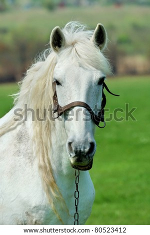 Portrait white horse - stock photo