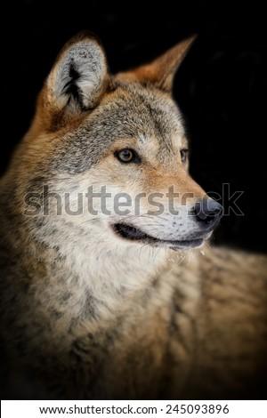 Portrait wild wolf on dark background - stock photo
