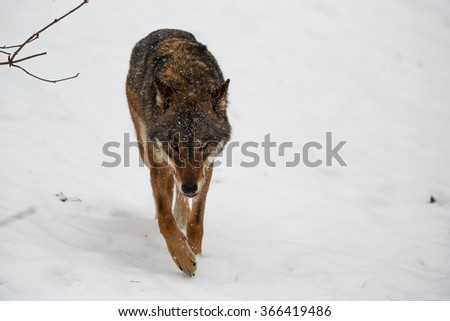 portrait wolf with fallen snow - stock photo