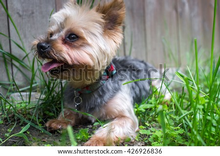 Portrait yorkshire terrier or yorkie sitting in grass and smiling  - stock photo