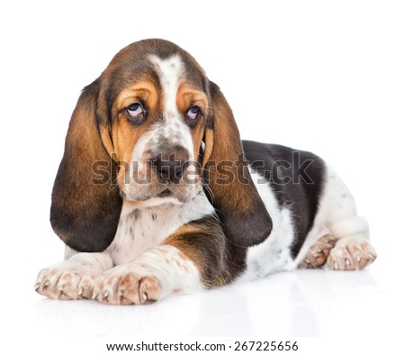 Portrait young basset hound puppy. isolated on white background - stock photo