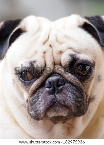 portraits of a white pug face taking outdoor under natural sunlight  making sadly face with expression of thinking, lonely, sad, wisdom, waiting, visionary