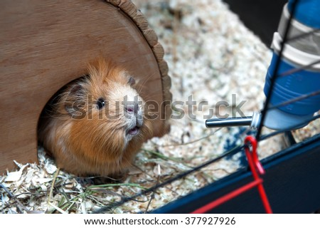 Portret of guinea pig in her wooden house - stock photo