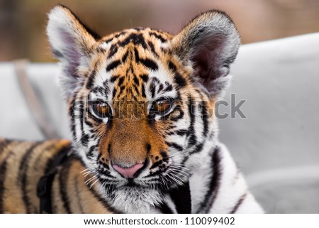 Porttrait of tiger cub on white background - stock photo