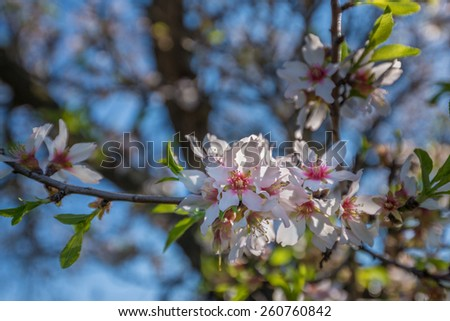 Portugal, Algarve (Europe) - Almond flower blossom in spring, shallow DOF (Detail of a tree branch) - stock photo