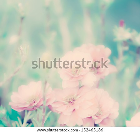 Portulaca grandiflora flowers - stock photo