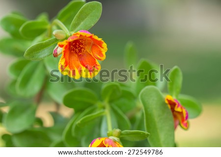 Portulaca, Moss Rose, Sun plant, Sun Rose flower - stock photo