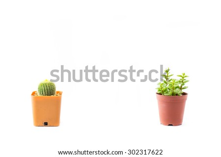 Portulacaria Afra : cactus a kind of succulent in plastic pot on white background