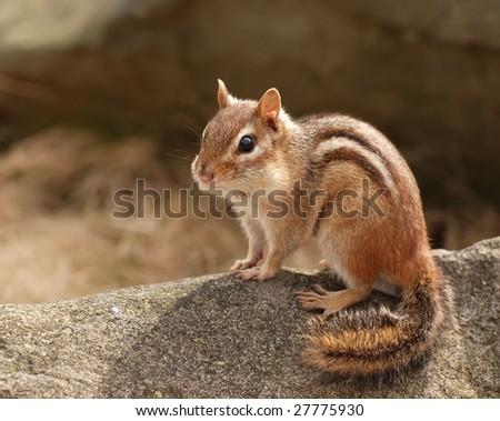 posing chipmunk - stock photo