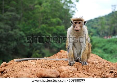 posing monkey - stock photo