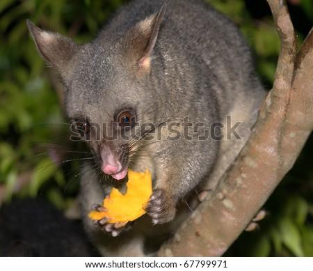 Possum holding a piece of mango close up - stock photo