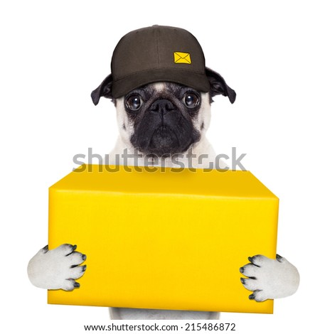 postman pug  dog delivering a big yellow package - stock photo