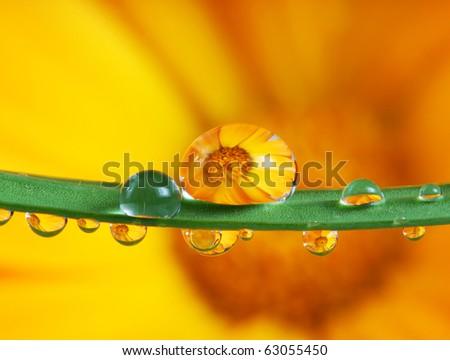 pot marigold flower mirroring inside rain drops - stock photo