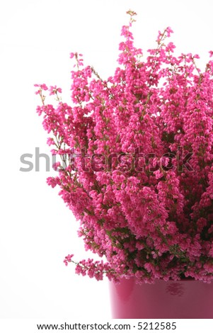 pot of heather in vase isolated on white - stock photo