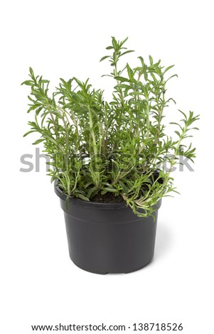 Pot with Winter savory on white background