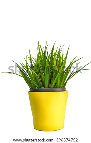 Pot yellow can plant isolated with white background with clipping path include.