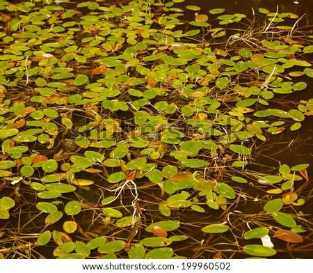 Potamogeton natans - Broad-leaved Pondweed - stock photo