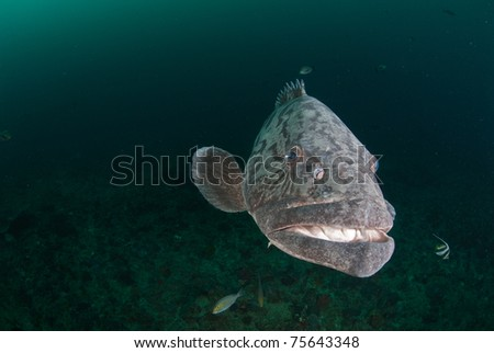 Potato bass portrait,  Sodwana Bay, South Africa