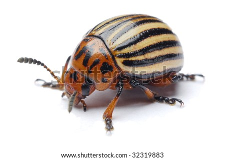 potato beetle on a white background - stock photo