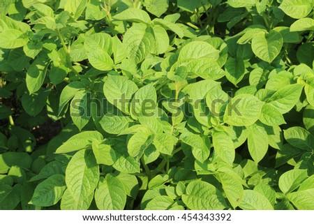 potato bush - stock photo