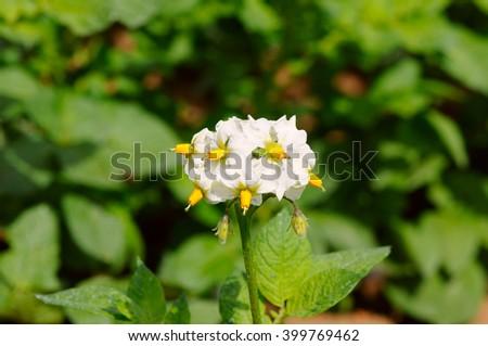 Potato bush blooming with white flowers. Closeup. - stock photo
