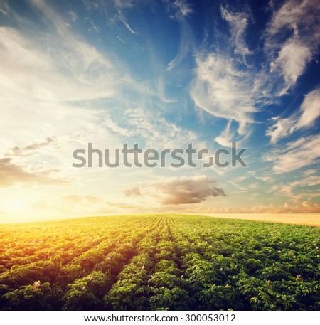Potato crop field at sunset. Agriculture, professional cultivated area, farm - stock photo