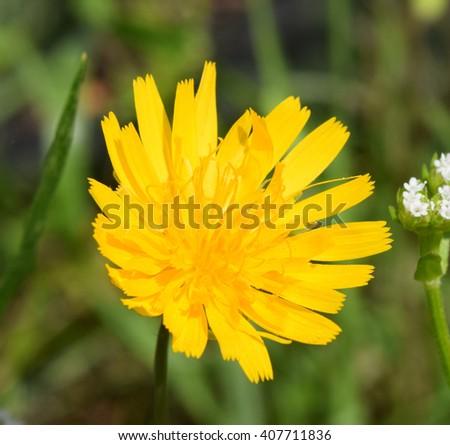 Potato dandelion flower in Mississippi - stock photo