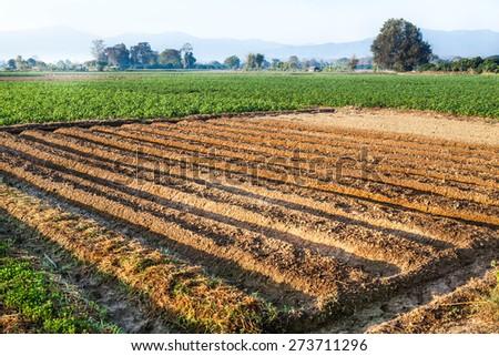 Potato farmland, Chiangmai, Northern of Thailand - stock photo