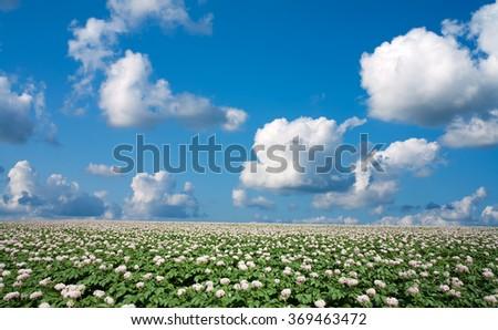 Potato field - stock photo