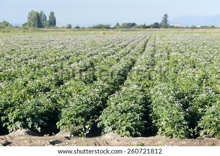 Potato - field of potatoes - stock photo