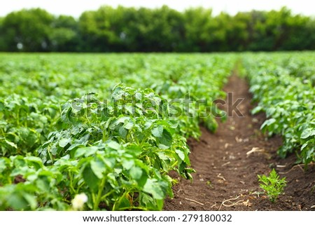 potato field rows with green bushes, close up - stock photo