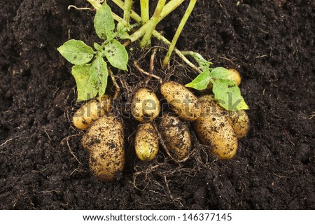 potato field vegetable with tubers in soil dirt surface background