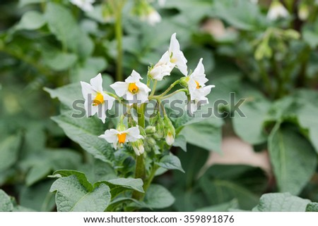 Potato flower in the summer field  - stock photo
