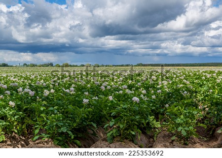 potato flowers blooming in the large  field - stock photo